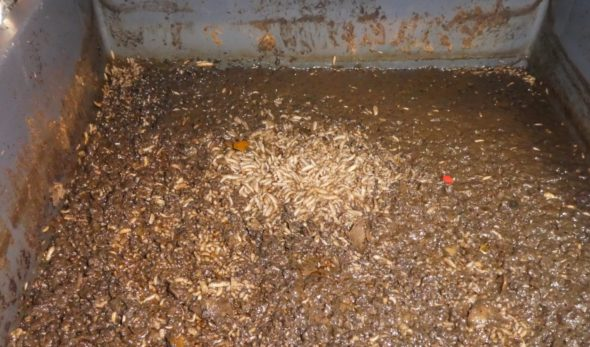 Mustasotilaskärpäsen toukkia biojätteessä